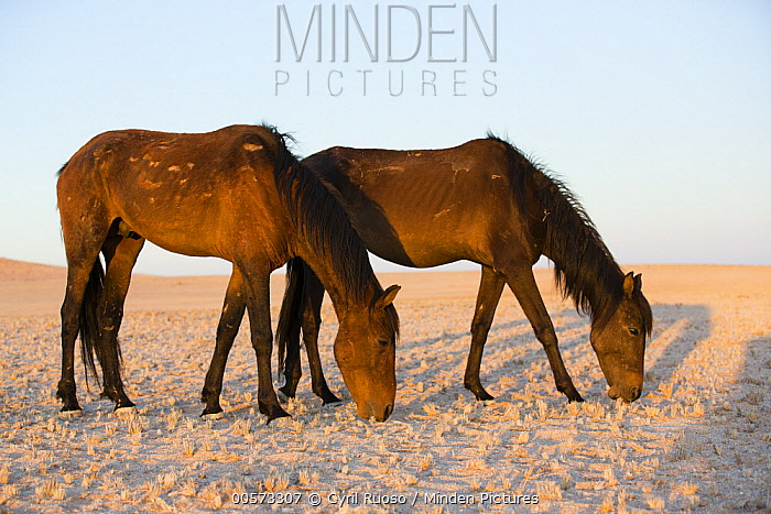 Namib Desert Horse (Equus caballus) pair grazing in desert, Namib-Naukluft National Park, Namibia