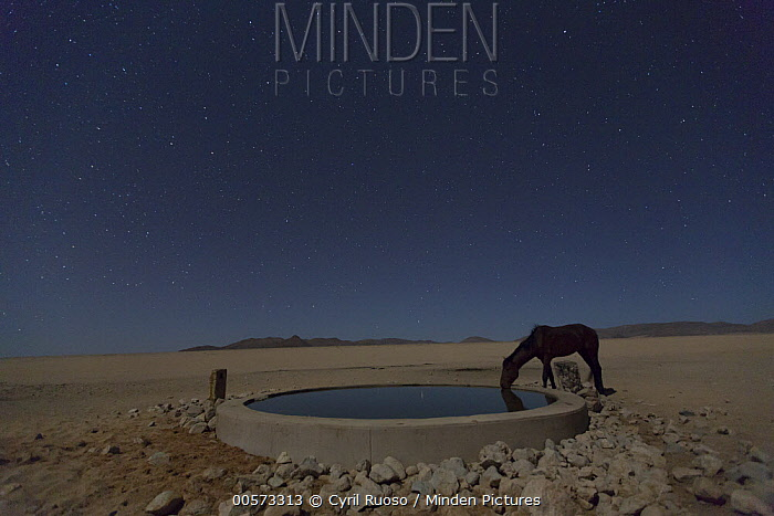 Namib Desert Horse (Equus caballus) drinking in desert at watering trough at night, Namib-Naukluft National Park, Namibia
