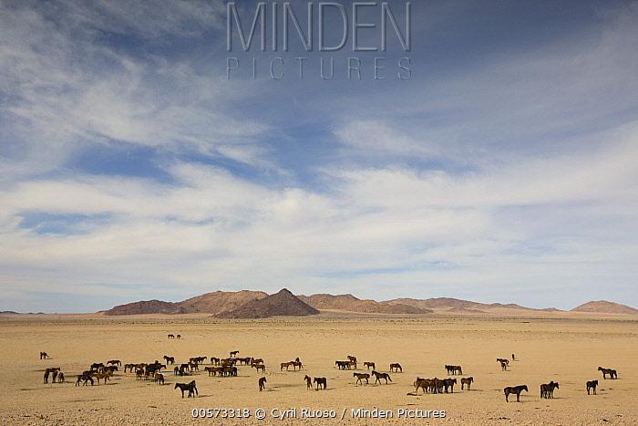 Namib Desert Horse (Equus caballus) group in desert at watering trough, Namib-Naukluft National Park, Namibia