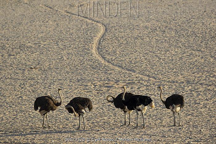 Ostrich (Struthio camelus) group in desert, Namib-Naukluft National Park, Namibia