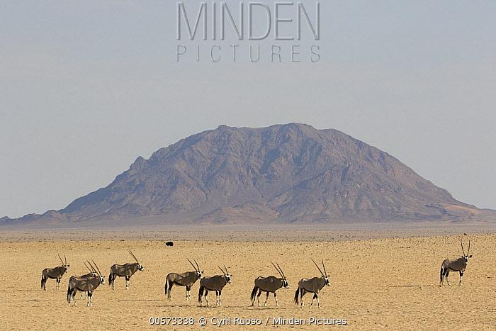 Oryx (Oryx gazella) group in desert, Namib-Naukluft National Park, Namibia