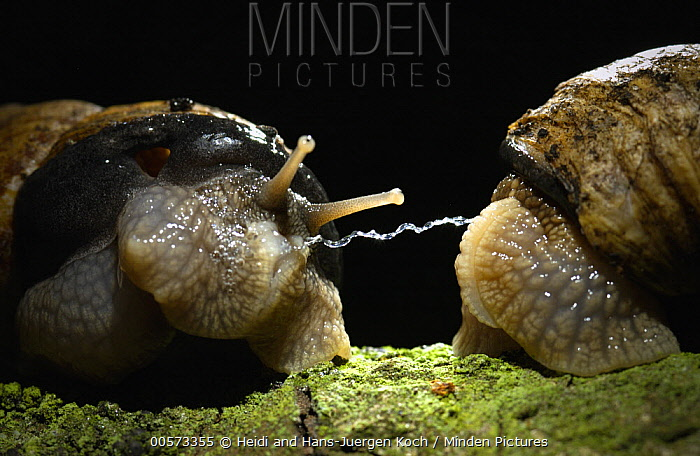 Edible Snail (Helix pomatia) pair with love dart between them, a calcium carbonate organ used to stimulate the partner during courtship, Aardenburg, Netherlands