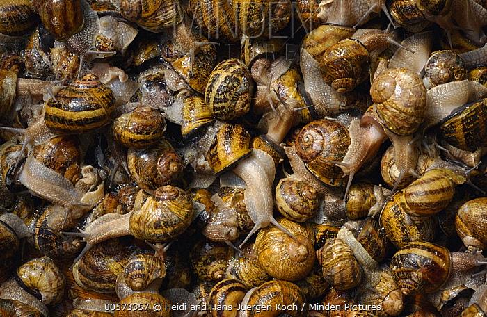 Edible Snail (Helix pomatia) group at breeding center, Aardenburg, Netherlands