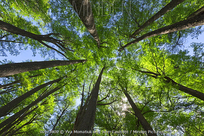Beech (Fagus sp) forest in spring, Los Glaciares National Park, Patagonia, Argentina