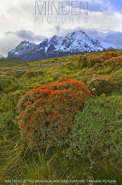 Neneo (Anarthrophyllum desideratum) flowering in spring, Torres del Paine National Park, Patagonia, Chile