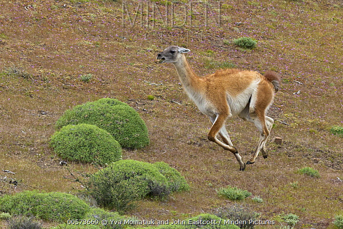 Guanaco (Lama guanicoe) male chasing rival in spring, Torres del Paine National Park, Patagonia, Chile