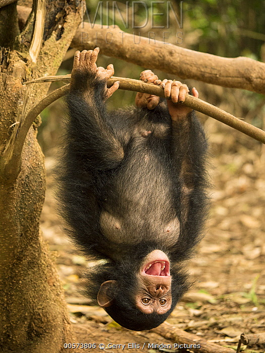 Chimpanzee (Pan troglodytes) orphan Larry playing in tree, Ape Action Africa, Mefou Primate Sanctuary, Cameroon