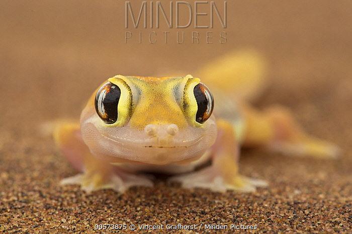 Namib Sand Gecko (Palmatogecko rangei) in desert, Namibia
