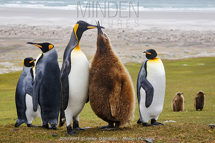 King Penguin (Aptenodytes patagonicus) chick begging for food, Saunders Island, Falkland Islands