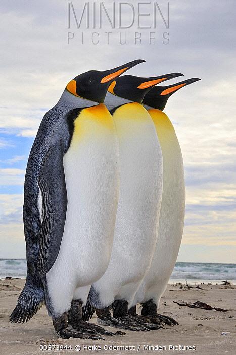 King Penguin (Aptenodytes patagonicus) trio, Saunders Island, Falkland Islands