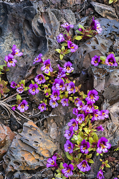 Dwarf Purple Monkeyflower (Mimulus nanus) flowering in lava field in spring, Craters of the Moon National Monument, Idaho