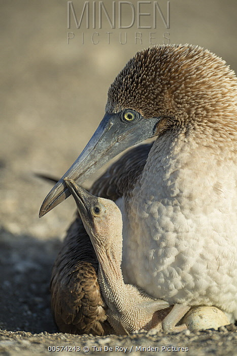 Blue-footed Booby (Sula nebouxii) parent tending to chick, Punta Vicente Roca, Isabela Island, Galapagos Islands, Ecuador