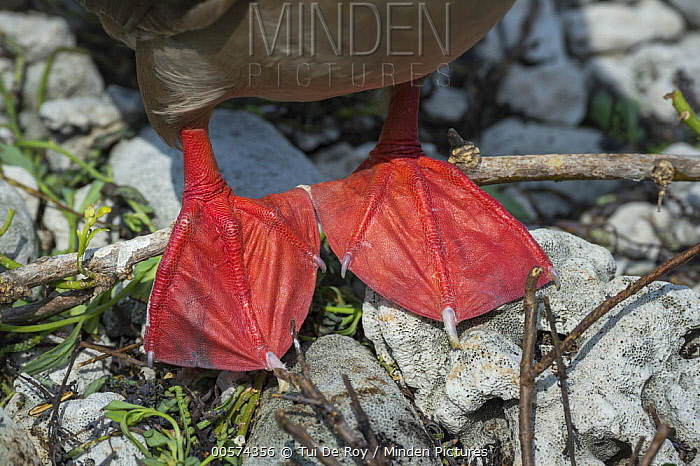 Red-footed Booby (Sula sula) feet, Genovesa Island, Galapagos Islands, Ecuador