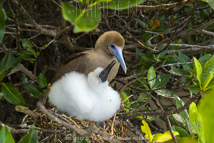 Red-footed Booby (Sula sula) parent and chick at nest, Genovesa Island, Galapagos Islands, Ecuador