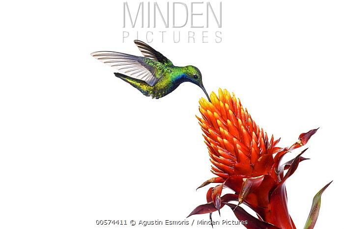 Black-throated Mango (Anthracothorax nigricollis) hummingbird feeding on flower nectar, Argentina