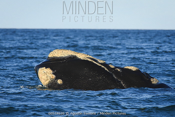 Southern Right Whale (Eubalaena australis) surfacing, Puerto Madryn, Argentina