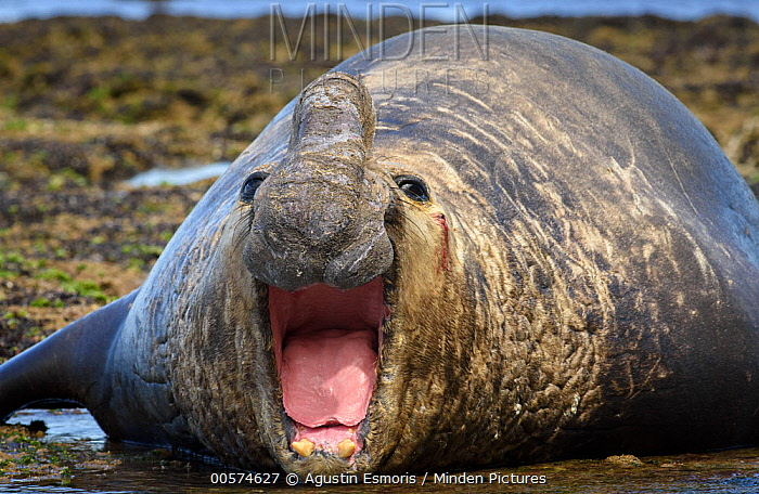 Southern Elephant Seal (Mirounga leonina) male calling and bleeding after fight, Puerto Madryn, Argentina