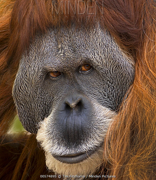 Sumatran Orangutan (Pongo abelii) male, native to Sumatra