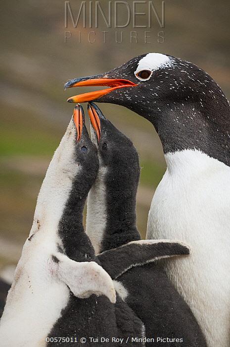 Gentoo Penguin (Pygoscelis papua) parent with chicks begging for food, Dunbar Island, Falkland Islands