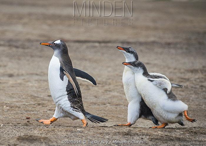 Gentoo Penguin (Pygoscelis papua) chicks chasing parent for food, Dunbar Island, Falkland Islands