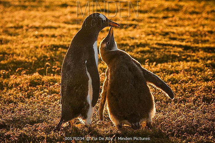 Gentoo Penguin (Pygoscelis papua) chick begging for food from parent, Volunteer Beach, East Falkland Island, Falkland Islands