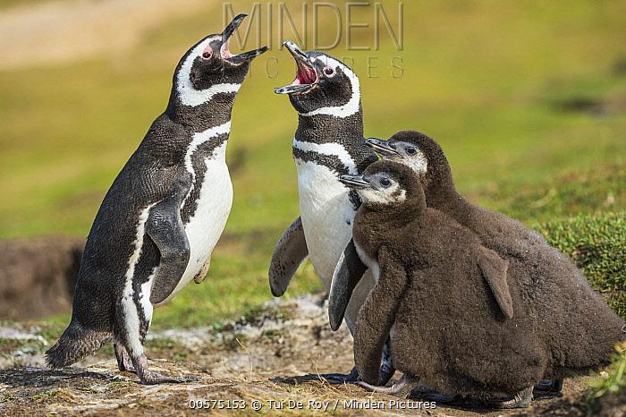 Magellanic Penguin (Spheniscus magellanicus) pair calling near chicks, Saunders Island, Falkland Islands