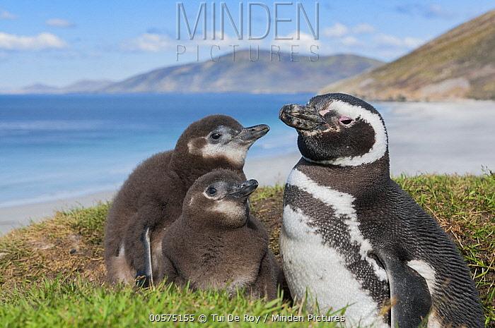 Magellanic Penguin (Spheniscus magellanicus) parent with chicks along coast, Saunders Island, Falkland Islands