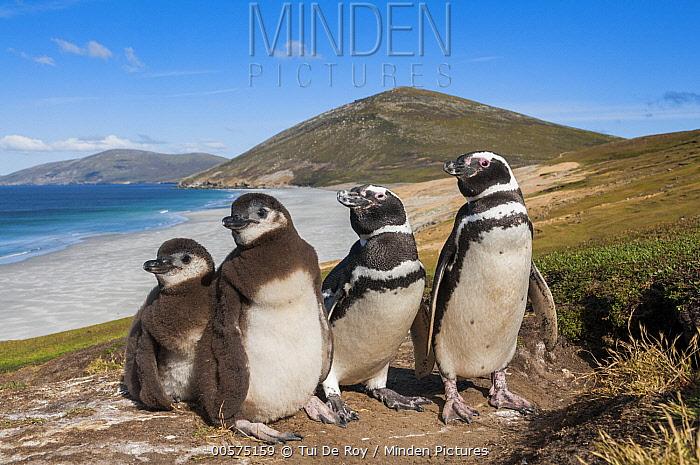 Magellanic Penguin (Spheniscus magellanicus) parents and chicks along coast, Saunders Island, Falkland Islands