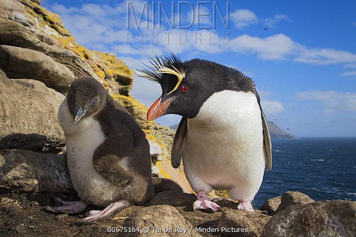 Southern Rockhopper Penguin (Eudyptes chrysocome) parent and chick, Dunbar Island, Falkland Islands