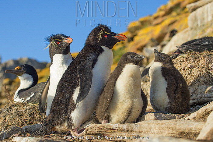 Southern Rockhopper Penguin (Eudyptes chrysocome) parents with chicks, Dunbar Island, Falkland Islands