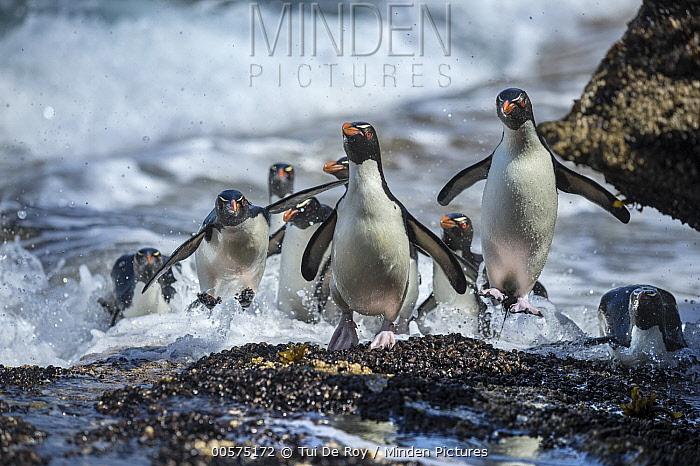 Southern Rockhopper Penguin (Eudyptes chrysocome) group coming ashore, Dunbar Island, Falkland Islands