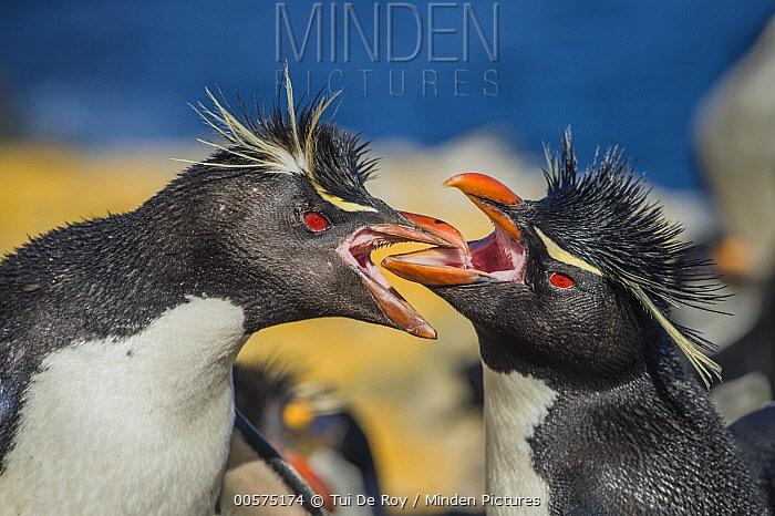 Southern Rockhopper Penguin (Eudyptes chrysocome) pair greeting, Dunbar Island, Falkland Islands