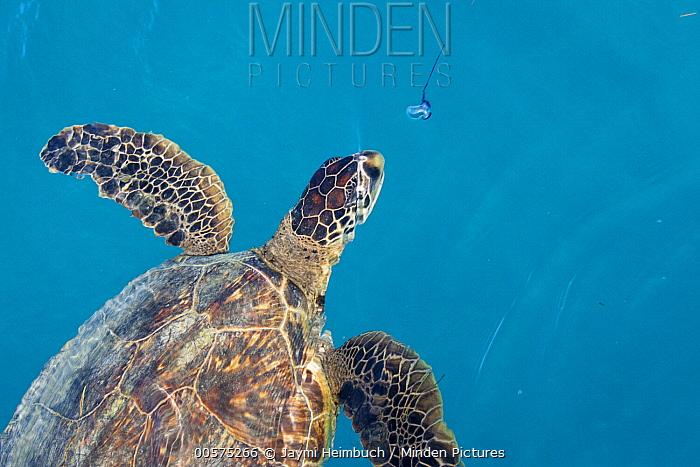 Green Sea Turtle (Chelonia mydas) feeding on jellyfish prey, Midway Atoll, Hawaiian Leeward Islands, Hawaii