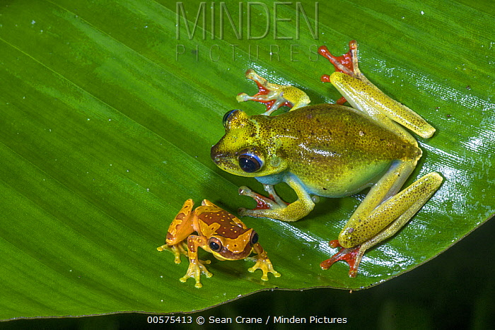 Canal Zone Treefrog (Hypsiboas rufitelus) and Golden Palm Tree Frog (Dendropsophus ebraccatus), El Valle, Panama
