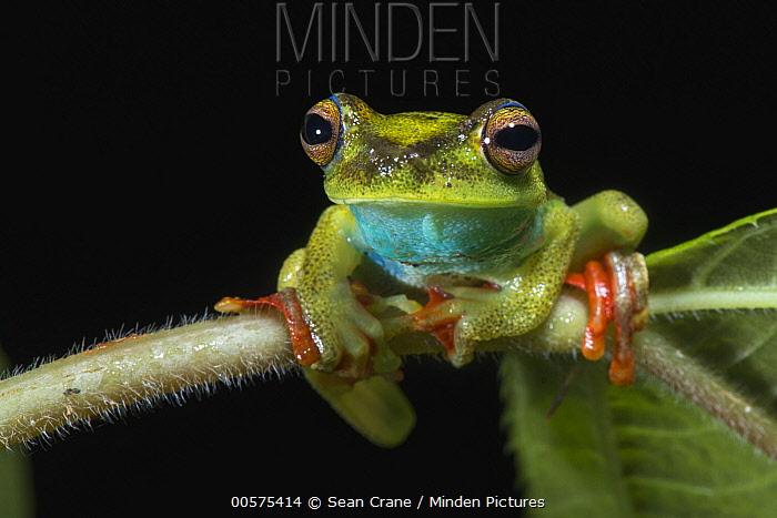 Canal Zone Treefrog (Hypsiboas rufitelus), El Valle, Panama