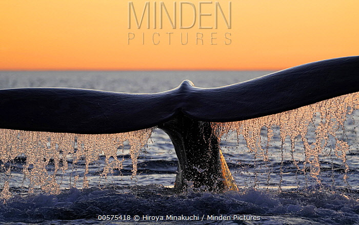 Southern Right Whale (Eubalaena australis) diving, Peninsula Valdez, Argentina