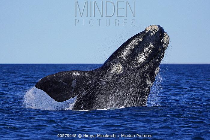 Southern Right Whale (Eubalaena australis) breaching, Peninsula Valdez, Argentina