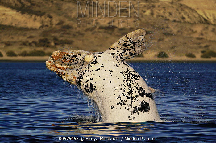 Southern Right Whale (Eubalaena australis) white morph breaching, Peninsula Valdez, Argentina