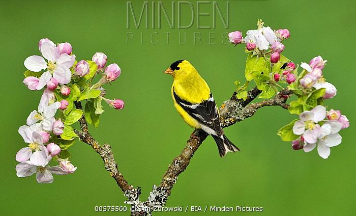 American Goldfinch (Carduelis tristis) male, British Columbia, Canada