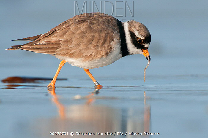 Common Ringed Plover (Charadrius hiaticula) with prey, Schleswig-Holstein, Germany
