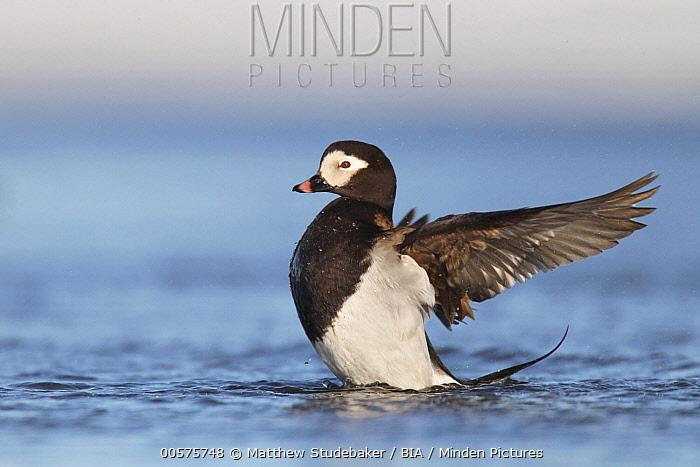 Long-tailed Duck (Clangula hyemalis) male flapping, Alaska