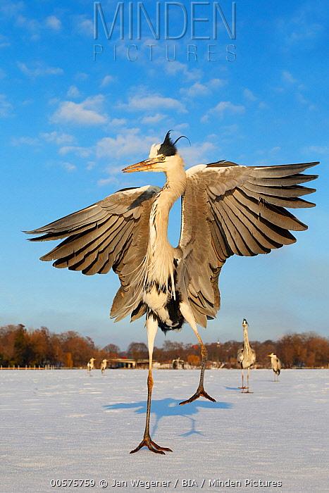 Grey Heron (Ardea cinerea) spreading wings on frozen lake, Berlin, Germany