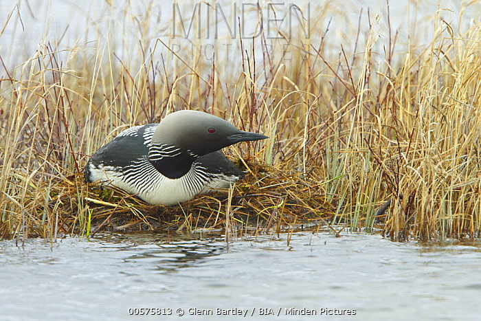 Pacific Loon (Gavia pacifica) on nest, Manitoba, Canada