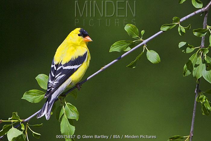 American Goldfinch (Carduelis tristis) male, Ontario, Canada