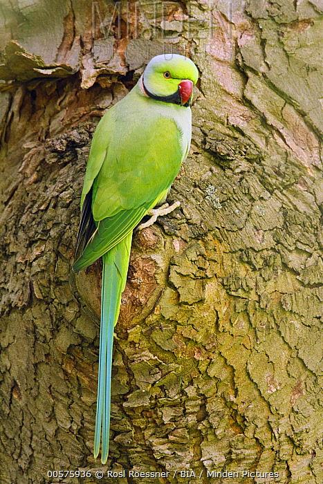 Rose-ringed Parakeet (Psittacula krameri) male, Rhineland-Palatinate, Germany