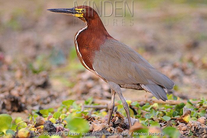 Rufescent Tiger-Heron (Tigrisoma lineatum), Pantanal, Brazil