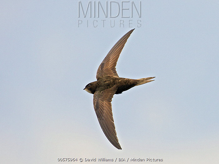 Common Swift (Apus apus) flying, Wales, United Kingdom