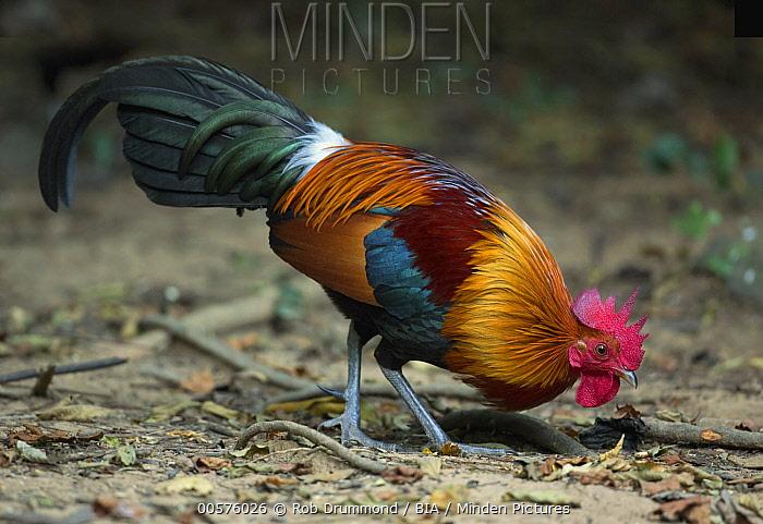 Red Junglefowl (Gallus gallus) male, Kaeng Krachan National Park, Thailand
