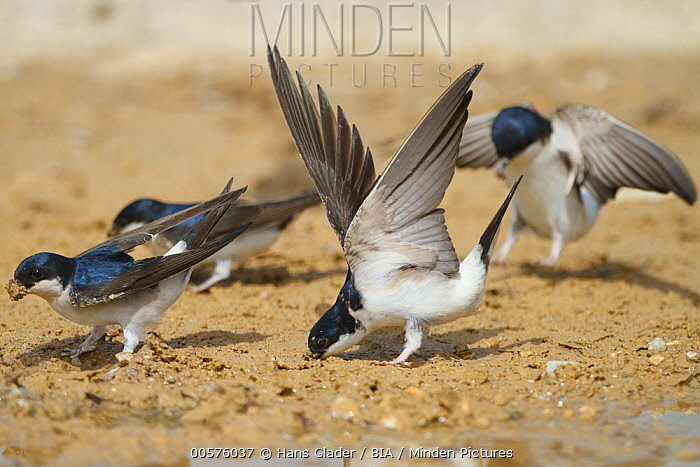 Common House Martin (Delichon urbicum) group collecting mud for nesting, Greece
