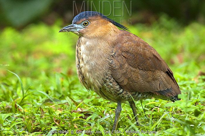 Malayan Night-Heron (Gorsachius melanolophus), Taipei, Taiwan